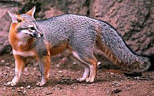 серая лисица, древесная лисица, лисица серая (Urocyon cinereoargenteus), фото, фотография
