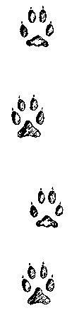 следы серой лисицы, древесной лисицы (Urocyon cinereoargenteus), фото, фотография