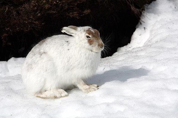 Заяц русак (Lepus europaeus), фото зайцеобразные фотография