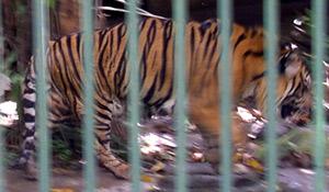 яванский тигр (Panthera tigris sondaica), фото, фотография, автор www.zooclub.ru - о. Бали