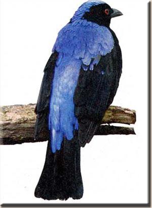 Голубая ирена (Irena puella)