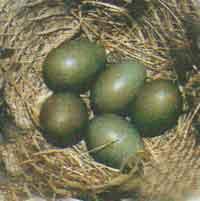 Гнездо варакушки