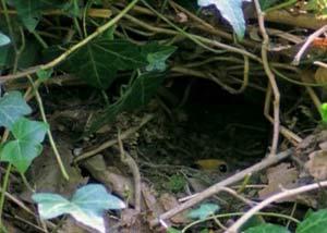 Гнездо зарянки