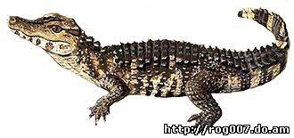 гладколобый кайман Шнайдера (Paleosuchus trigonatus), фото, фотография