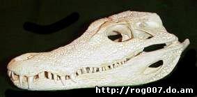 череп гладколобого каймана Шнайдера (Paleosuchus trigonatus), фото, фотография