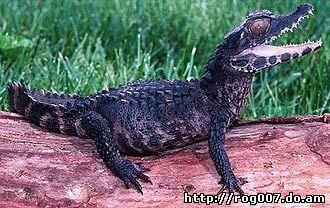 гладколобый, или карликовый кайман Шнайдера (Paleosuchus trigonatus), фото, фотография